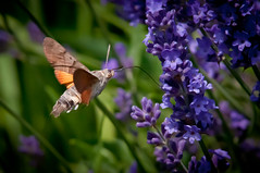 Macroglossum stellatarum (Hummingbird Hawk-moth) and Lavender (Explore) (svenpetersen1965) Tags: moth lavender hummingbirdhawkmoth macroglossumstellatarum taubenschwänzchen morosphinx