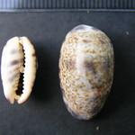 Purpuradusta fimbriata 1 thumbnail