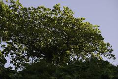 Tree  @ Parque Garota de Ipanema | 130706-5182-jikatu (jikatu) Tags: brazil rio brasil sunrise nikon amanecer d800 riodejanerio jikatu d800e nikond800e braziljuly2013