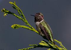 Anna's Hummingbird (markvcr) Tags: bird hummingbird ngc npc cedar annashummingbird supershot specanimal avianexcellence slicesoftime sunrays5