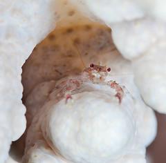IMG_9604 (Andrey Narchuk) Tags: coral night underwater dahab redsea crab