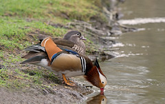 Male Mandarin Duck, Aix galericulata with  juvenile, drinks water beside a stream. Spring. Uk (PANDOOZY PHOTOS) Tags: uk two male bird water birds duck spring stream pair young ducks drinks mandarin brook juvenile aix wildfowl galericulata behaviour
