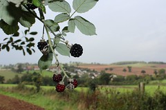 devon blackberry (*LINNY *) Tags: macro nature fruit berry blackberry devon