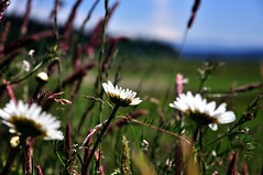 Flowers at a Roadside Stop (thor_mark ) Tags: nature photography unitedstates spirit meadow wa coupeville whiteflowers oakharbor project365 colorefexpro nikond90 spiritofphotography day11olympictoorcas