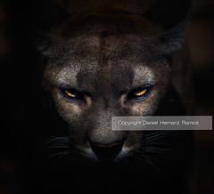 Puma in the dark (Daniel Hernanz Ramos) Tags: pictures eye up animal animals flickr photographers images best angry contact aggressive cougar flickrbest danihernanz animalspictures moodpictures flickrbigcats danielhernanzfotografodemadrid animalsphoto artisticanimalpictures allrightsreservedinallmypicturesdontusewithoutmypermission copyrightdanihernanz fotografodeanimalsdanihernanz amazinganimalpictures agressiveanimalpictures animaldetailpictures animalsfacetoface closeupanimalpictures thebestpicturesofanimals pictureswithatmosphere cougarpumamountain lionfelinoaggressive pumaangry imagesclose