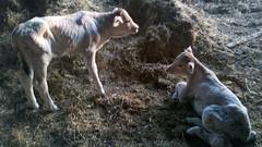 Newborn Brown Swiss Twins (J. Nisly) Tags: spring twins cattle cows kansas calf 2012 brownswiss dairycattle twincalves