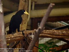 kuiforopendola - Psarocolius decumanus - Crested Oropendola (MrTDiddy) Tags: bird zoo rotterdam blijdorp crested vogel suriname diergaardeblijdorp diergaarde kuif oropendola psarocolius rotterdamzoo kuiforopendola decumanus