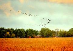 heading south (tonnyc) Tags: autumn fall ducks migration vformation soybeanfield geeseflight