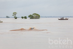 Irrawaddy dolphin breaches near Kampi | Kratie Province, Cambodia (bokehcambodia) Tags: trees tree tourism animal river asian mammal one boat fishing fisherman asia cambodge cambodia southeastasia cambodian khmer view flood dolphin breath surface dolphins species endangered fishingboat northeast surfaces mekong province touristattraction breaching breathing surfacing individual freshwater irrawaddy flooded northeastern indochina kampi ecotourism breach dorsalfin kratie kampuchea criticallyendangered delphinidae orcaellabrevirostris irrawaddydolphin orcaella