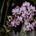 Dendrobium Enobi Purple – Anita Spencer
