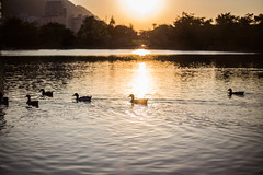 burning lake (Taipei street life) Tags: sunset sun lake reflection animal duck afternoon 台灣 新北市 三峽區