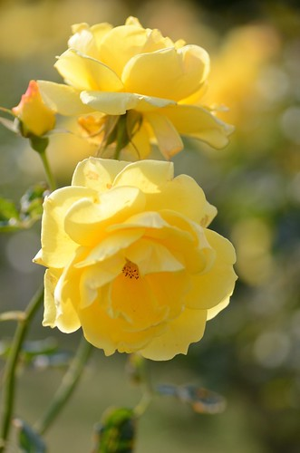 "late-blooming roses No.3  ""gold bunny"""