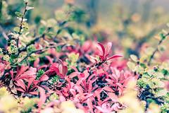 colorful tundra vegetation (Sascha Kilmer) Tags: flowers nature colors leaves landscape colorful sweden schweden lappland natur north norden skandinavien pflanzen nopeople arctic lapland vegetation lonely wilderness scandinavia untouched barren landschaft bltter bunt sparse fjell farben menschenleer einsam meager fjll kungsleden unberhrt wildniss sprlich