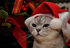 Frhliche Weihnachten. (Kurt Gritzan) Tags: people cats cute animal cat germany deutschland feline tabby whiskers nrw tobi gelsenkirchen katzen britishshorthair weihnacht bkh 2013 britischkurzhaar bkhkatzen weihnachtsmtzen kurt65 kurtgritzan gelsenkirchen2013
