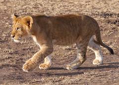 Young lion cub (NewbyGaronga) Tags: cub kenya lion panasonic masaimara africanwildlife flickrbigcats