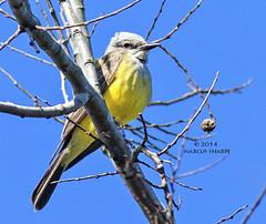 Western Kingbird (Marcus Sharpe) Tags: county orange lake bird nature birds marcus florida wildlife birding january western 12 migration 2014 sharpe kingbird apopka