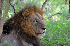 DSC_1039 (Arno Meintjes Wildlife) Tags: africa wallpaper art animal southafrica bush wildlife lion safari bigcat getty krugernationalpark krugerpark big5 sanparks pantheraleo genuspanthera arnomeintjes