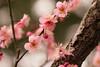 松森神社の梅 (HRS_Kenzy) Tags: nagasaki 植物 梅 長崎市 松森神社