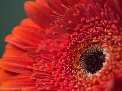 Upstanding (David S Wilson) Tags: uk flowers england gerbera ely fens flowersplants davidswilson lightroom5 panasonicdmcg3 leicadgmacroelmarit12845asphlens