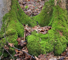 U-shaped (:Linda:) Tags: two tree germany leaf moss village thuringia bark stump trunk veilsdorf beechtree buche leite ushaped werravalley eichigt