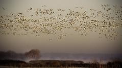 Merced NWR (Steve Corey) Tags: birds morninglight explore liftoff snowgeese mercednationalwildliferefuge rosssgeese slocameraclub