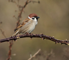IMG_0183 Tree sparrow (steve.ray50) Tags: dungeness 2014