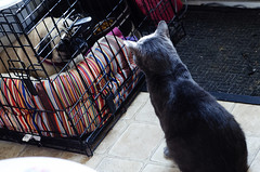 Staring contest. (Jenn ) Tags: rescue dog cat leah pug titanium russianblue rescuecat formerstray fiv fivcat fivpositive fivawareness