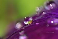 I Am Unique (Aadilsphotography) Tags: pakistan macro canon purple drop aadils