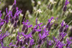 french lavender [explored] (carol_malky) Tags: flowers white green french purple bokeh lavender bee explore lavendula stoechas