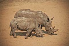 Rhinoceros (Ivo Vastre) Tags: wild baby nature animal zoo fotografie rhino rhinoceros beeksebergen photograpy kaatsheuvel neushoorn ivovastré