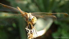 Close up (uvaisjm - Al Seylani Photography) Tags: macro nature closeup dragonfly insects riyadh saudiarabia