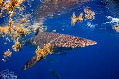 Dusky Shark (MikeScottPhotography) Tags: canon florida scuba fisheye tokina sharks fl jupiter palmbeach 6d f3545 ikelite uwphotography 1017mm