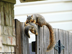 Who Knew There Was A Learning Curve For Fence Walking?  Part 2 (Kaptured by Kala) Tags: baby nature squirrel squirrels klutz babysquirrel foxsquirrel mamaandbaby garlandtexas mamasquirrel fencewalkinglessons