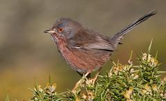 Dartford Warbler 080217 (2) (Richard Collier - Wildlife and Travel Photography) Tags: birds british britishbirds wildlife naturalhistory dartfordwarbler rspbarne naturethroughthelens ngc npc