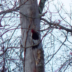 Red-headed Woodpecker (Dendroica cerulea) Tags: redheadedwoodpecker melanerpeserythrocephalus melanerpes dendropicini picinae picidae picides pici piciformes neoaves neognathae neornithes aves birds woodpecker winter glenhurstmeadows warrentownship somersetcounty nj newjersey