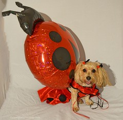 Sadie the Lady Bug (yourdesignerdog) Tags: ifttt wordpress all posts wordless wednesday balloon dog costume smiling lady bug spring