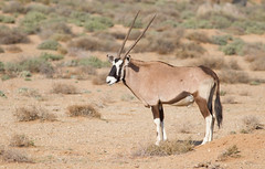 Gemsbok (Oryx gazella) (George Wilkinson) Tags: gemsbok oryx gazella northern cape goegap nature reserve south africa karoo desert animal mammal wildlife canon 7d 400mm