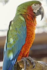 Harlequin Macaw (Inside The Hive Photography) Tags: macaw harlequinmacaw