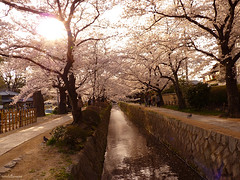 P1090743wm (worldbreeze) Tags: japan cherry spring kyoto path blossoms philosophy    sakura