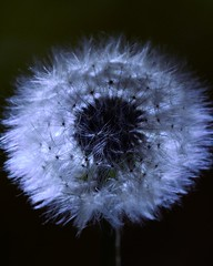 Dandelion (jimmiesp) Tags: white flower closeup