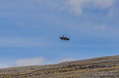 Burren Birds of Prey and Education Centre (Ronan McCormick) Tags: ireland clare theburren birdofprey harrishawk harrisshawk burrenbirdsofpreyandeducationcentre ilobsterit