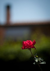 Le rose nei giardini..... (Damy86) Tags: red flower rose canon rosa flowering 5d fiore rosso amore 1976 adaptall adaptall2 canoneos5dmarkii 5d2 5dmkii 5dmk2