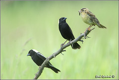 Barbie Bobolink brings supper for the boys.. (Earl Reinink) Tags: ontario canada art nature photography nikon flickr photographer image bob images earl flikr d4 art bobolink nikon photography images nature lens ontario canada ontbirds fine earl photographer lenses reinink reinink d4 niagara 201306172348