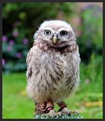York Owl. (konstantynowicz) Tags: york owl mygearandme mygearandmepremium mygearandmebronze mygearandmesilver mygearandmegold mygearandmeplatinum mygearandmediamond
