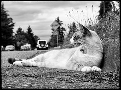 Silver Kitty 34 (Phil Rose) Tags: pet cats animals fauna pussy kitties philrose philrosephotography