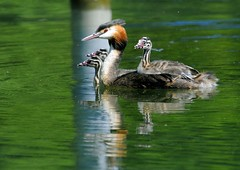 Grebe and her offspring (jd.echenard) Tags: nature animal port aves oiseau animalia grebe greatcrestedgrebe podicepscristatus haubentaucher podiceps chordata vertebrata podicipedidae thielle svassomaggiore grbehupp somormujolavanco zihl