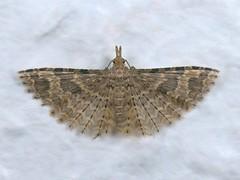 Twenty-plume Moth, Alucita hexadactyla, kitchen, Swavesey, Cambridgeshire    DSC_7590 (Cladoniophile) Tags: lepidoptera