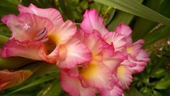 ✽ Gladiolus ✽
