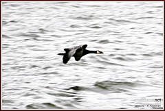 Canada Goose (PeepeT) Tags: finland helsinki suomenlinna canadagoose brantacanadensis uusimaa kanadanhanhi