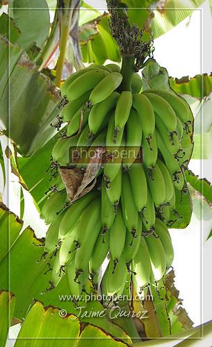 Plátano maleño